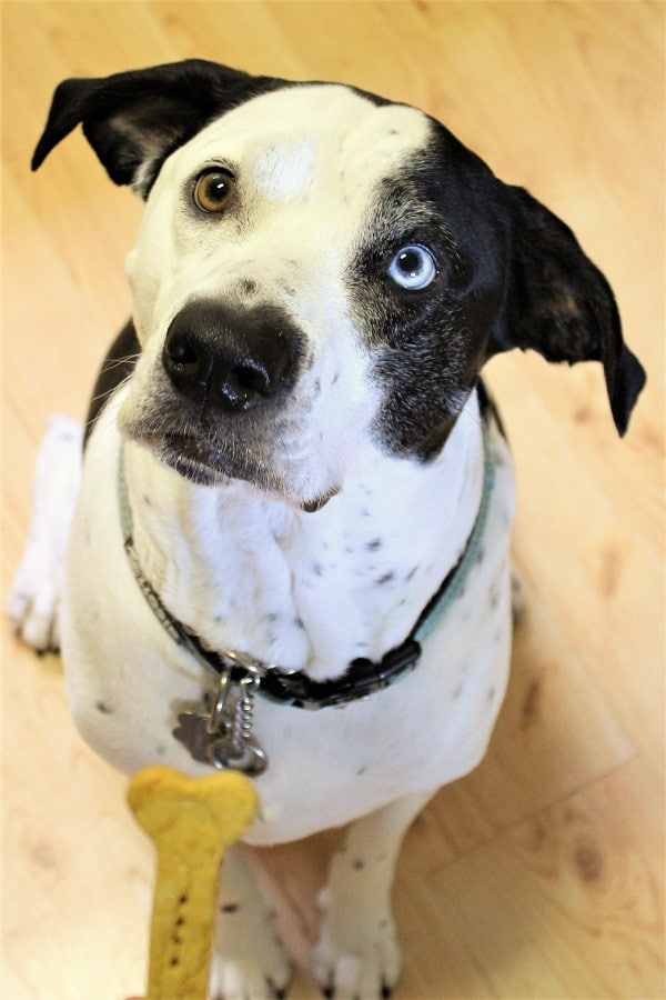 black and white dog looking up at the camera with a homemade biscuit in front of him
